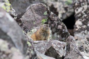 【20cmの小さいうさぎ】ナキウサギとは?生息地や特徴を紹介