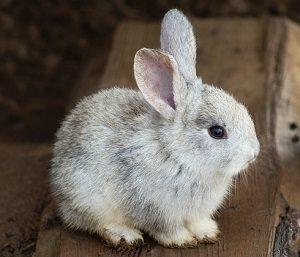 灰色のミニウサギ